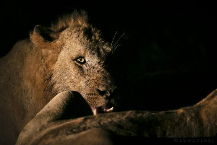 Ntesvu Lion Spotlight Eye