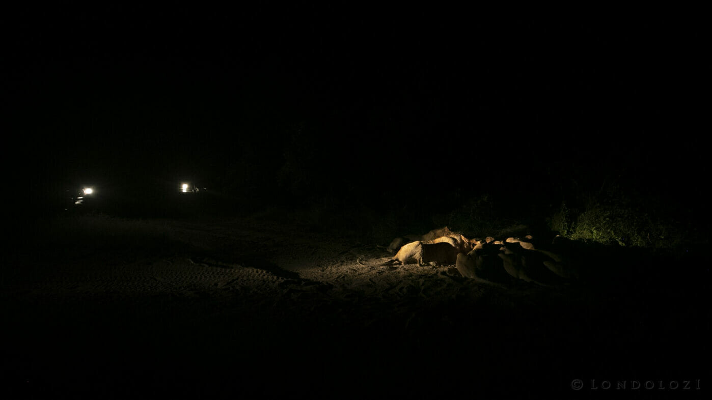 Ntsevu Pride Lion Kill Spotlight Night