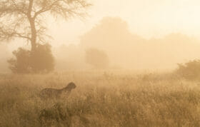 Cheetah in the mist