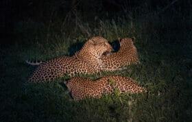 Leopard Leopards Flat Rock Night