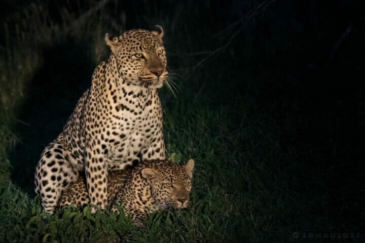 Leopard Mating Flat Rock Xinzele Night