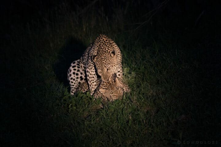 Leopard Mating Flat Rock Xinzele Night Neck Bite
