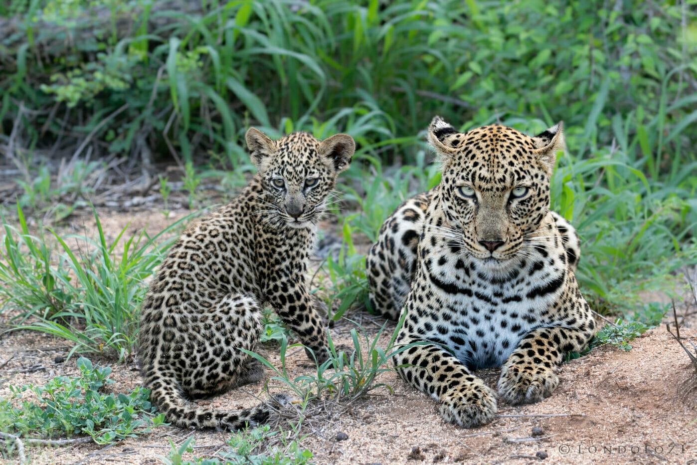 Ximungwe and cub