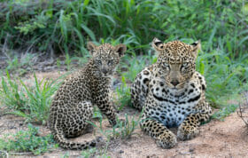 Ximungwe and cub