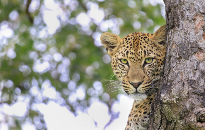 Plaque Rock Female Tree Stare KG