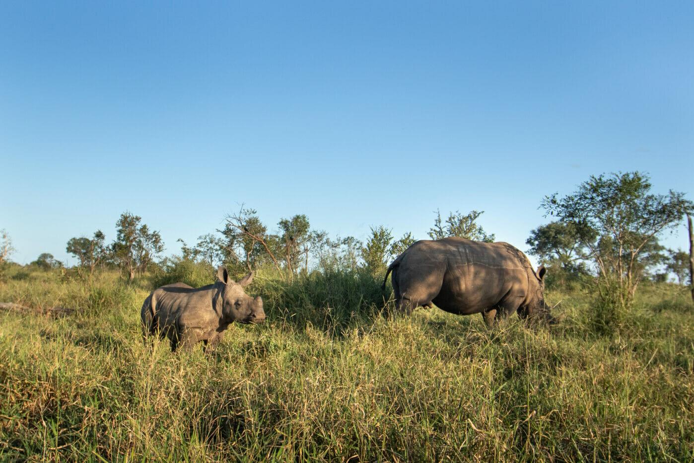 Curious Rhino Calf