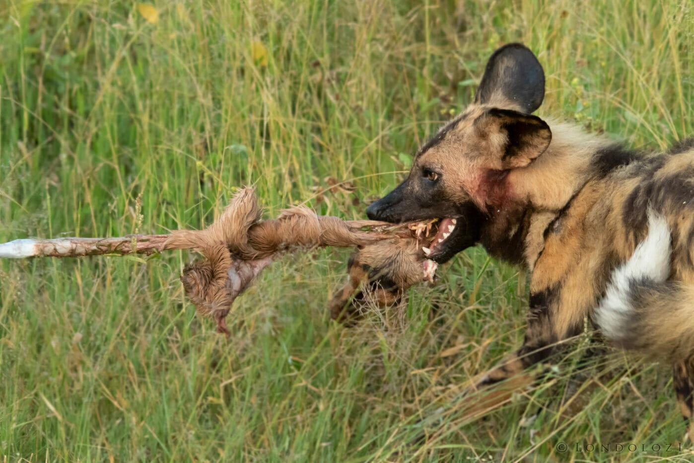 Wild Dog Kill Impala