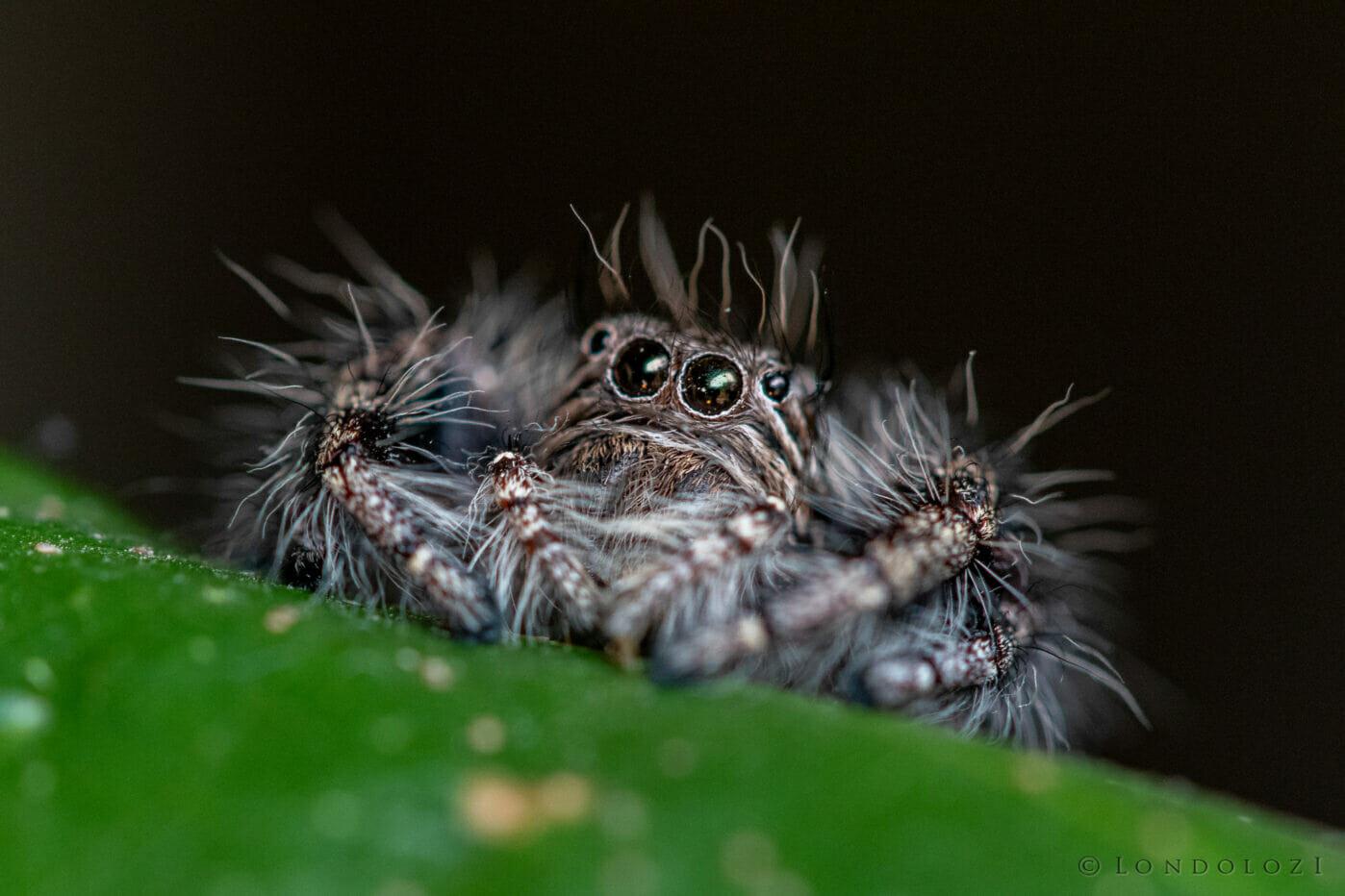 Jumping Spider Makro