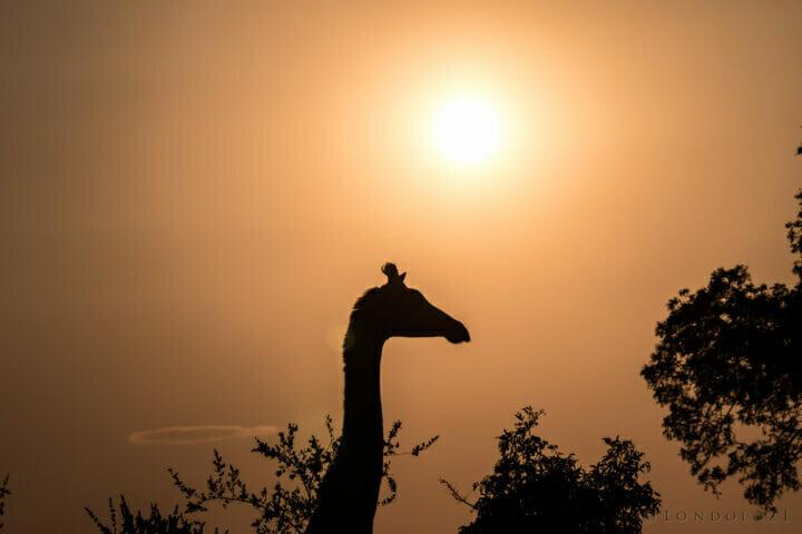 Giraffe Sunset Silhouette