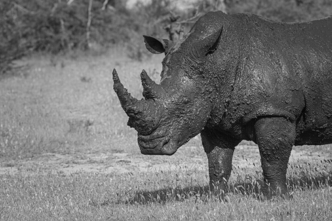 Rhino Bull Mud