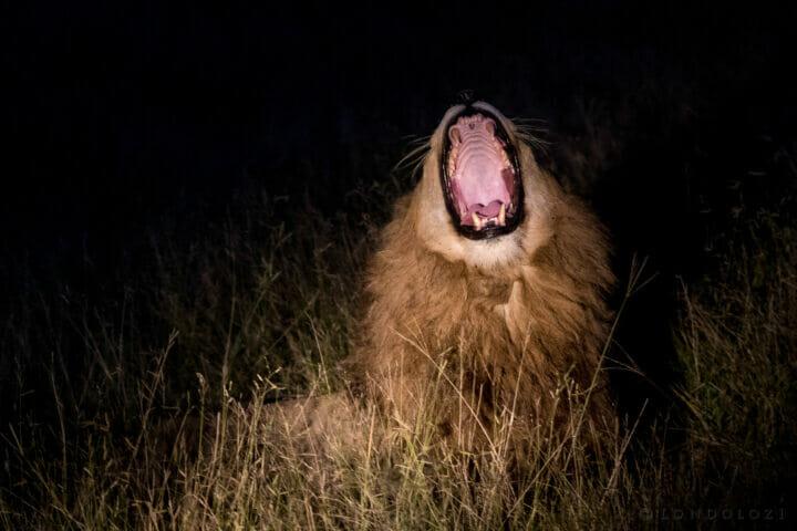 Othawa Male Night Yawn Kg