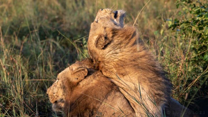 Styx Nkuhuma Young Males Head Rub Kg