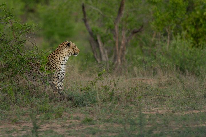 The Ximungwe Female
