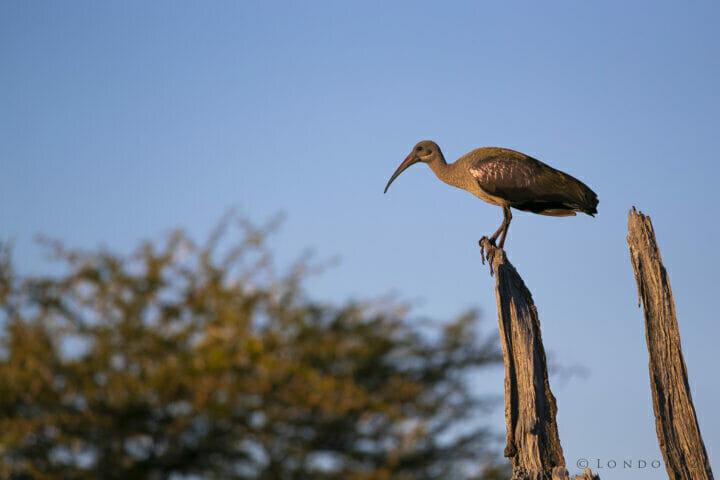 Hadeda Ibis Bird