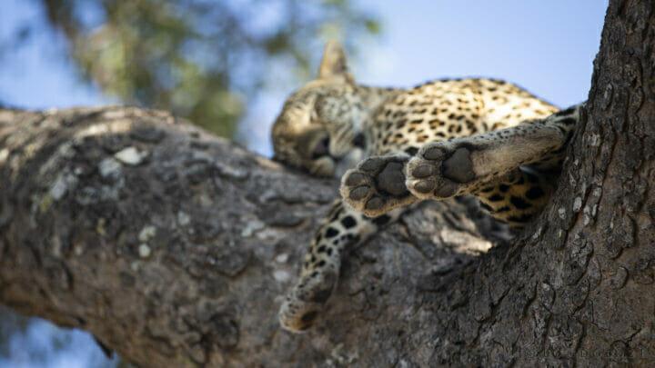 Leopard Paws