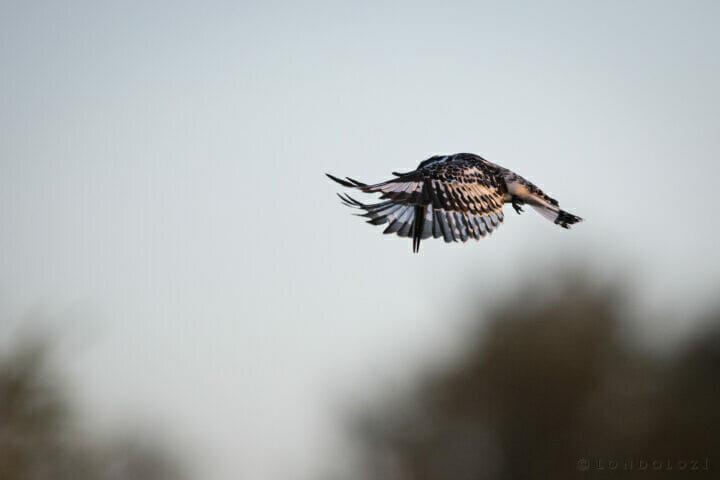 Pied Kingfisher Bird