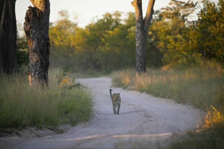 Ximungwe Leopard
