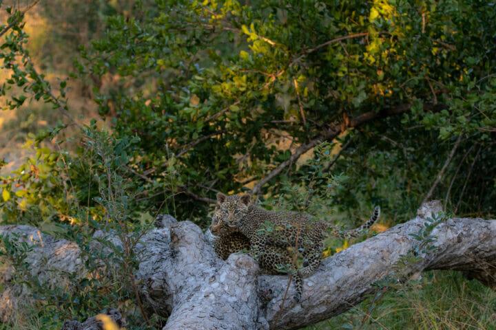 The Nkoveni Female's cubs