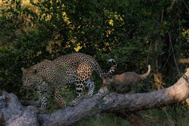 The Nkoveni Female and her cub