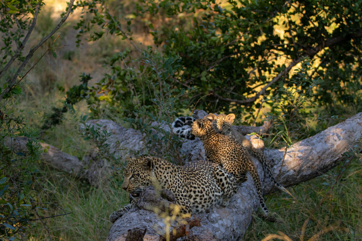 The Nkoveni Female and her cubs
