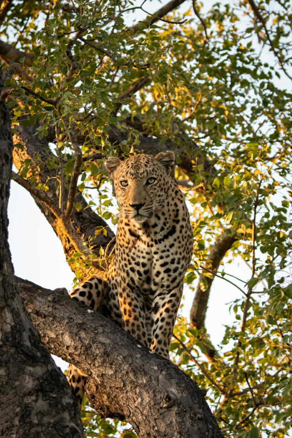 Senegal Bush Male 2 April 2021 NS