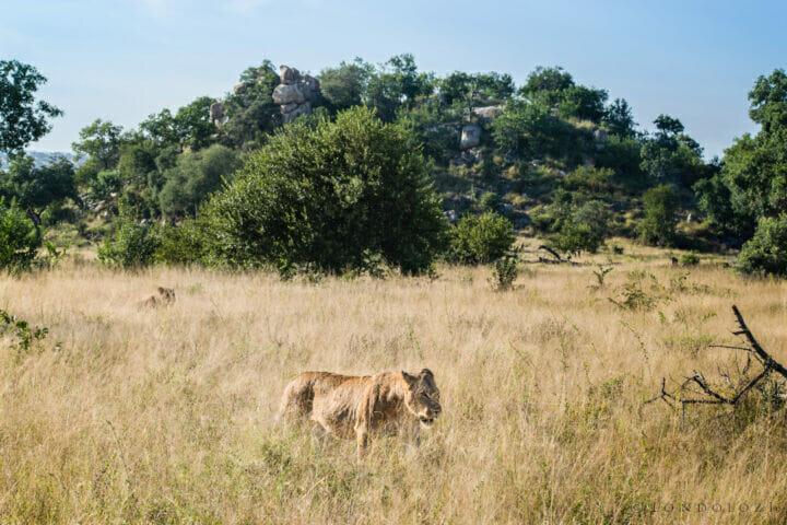 Ximpalapala Lioness Tsalala