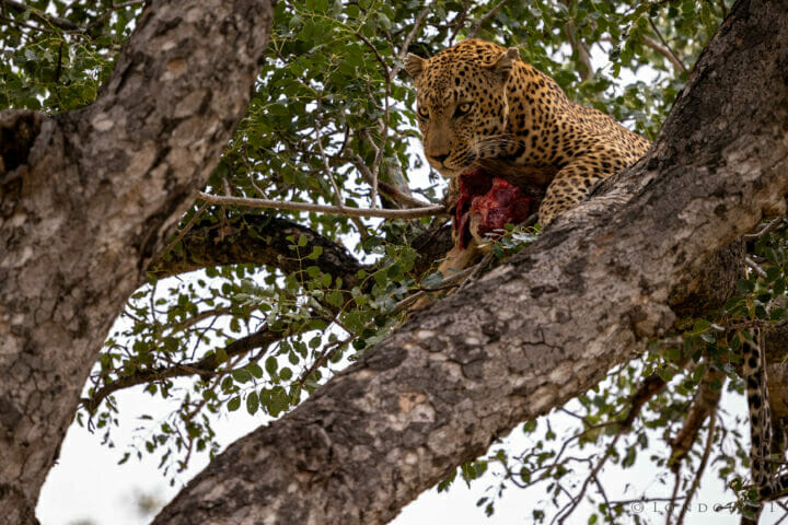 Senegal Bush Male Marula Kill
