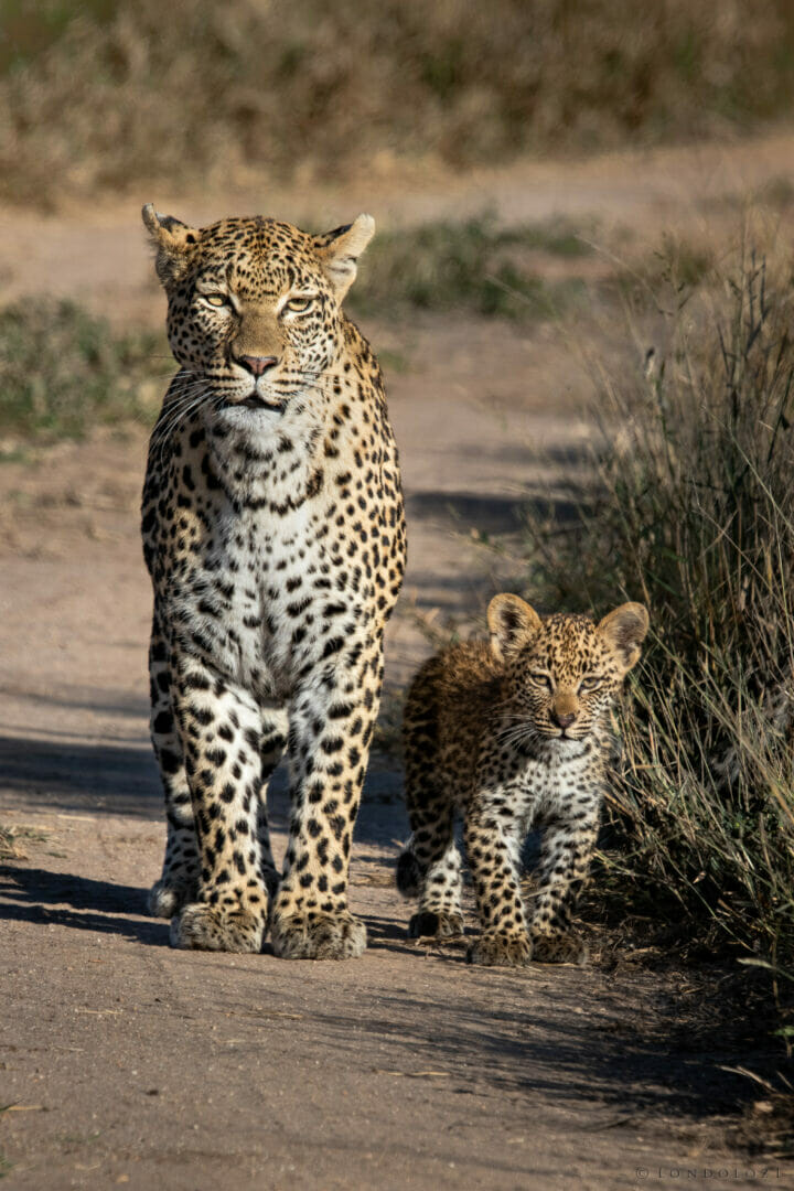 Nkoveni – Cub – Female leopard – Dean de la Rey - The Nkoveni female with one of her young cubs. After a long hiatus, this leopard seems to be reclaiming territory on Londolozi, terr...