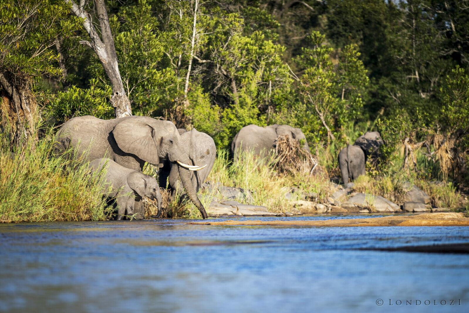 SDZ Elephants drinking Taylors crossing