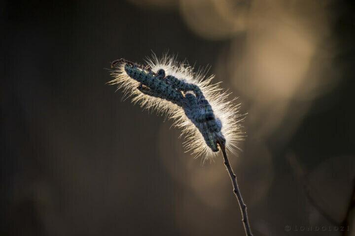 SDZ Hairy Caterpillar