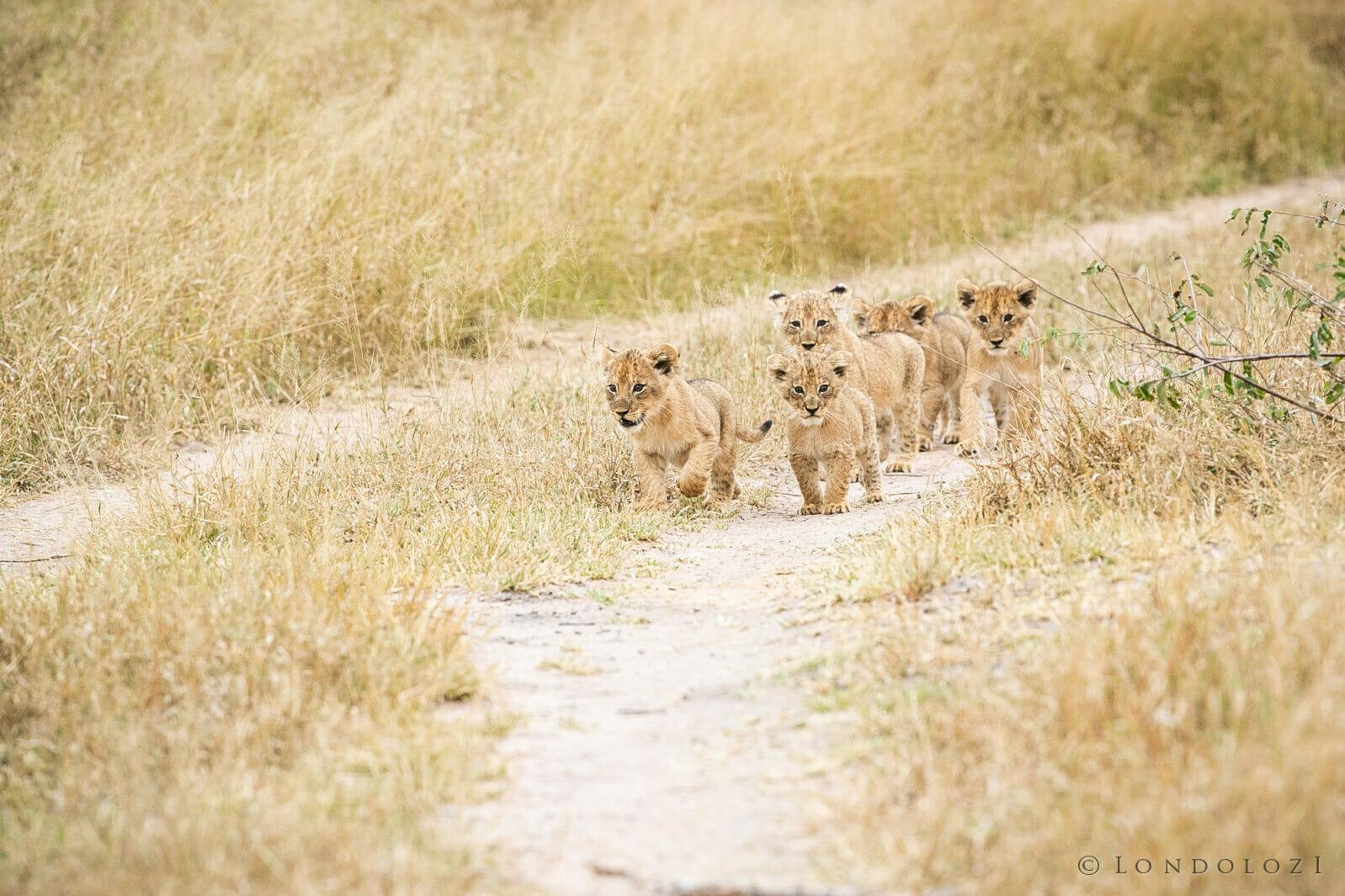Ntsevu Cubs Lion Jt