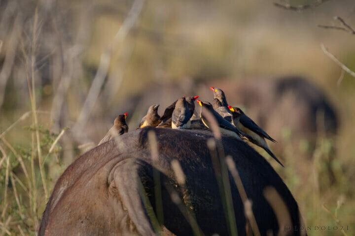 oxpeckers on buffalo