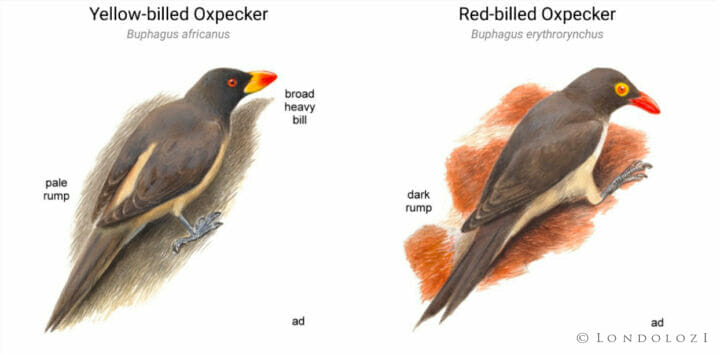 yellow and red-billed oxpeckers