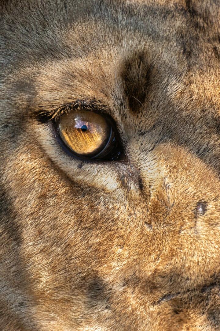 Dlr Ntsevu Sub Adult Lion Eye 05:21