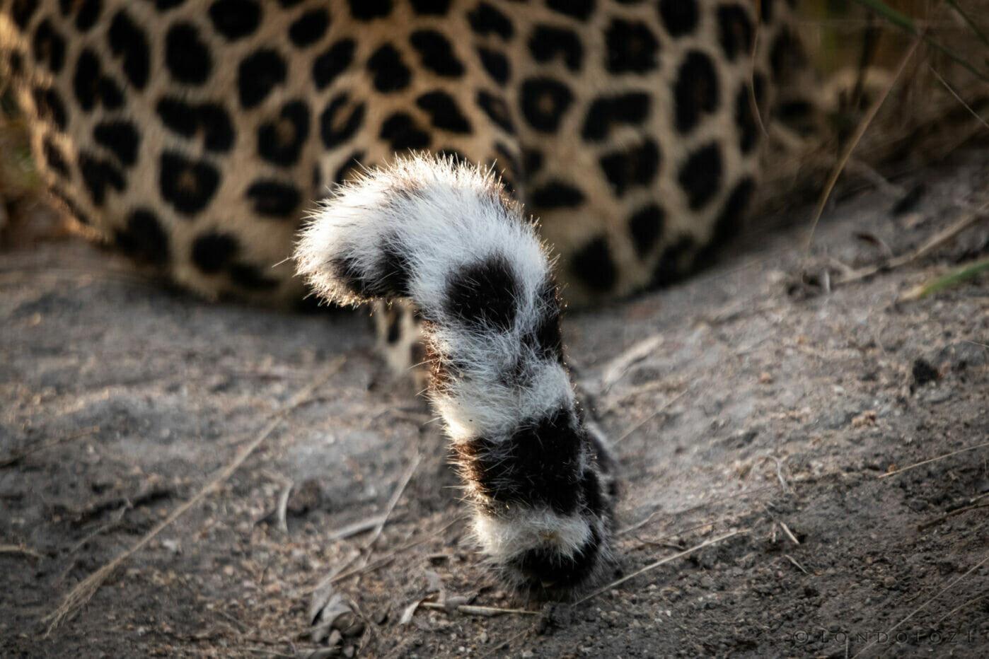 Leopard Tail NS