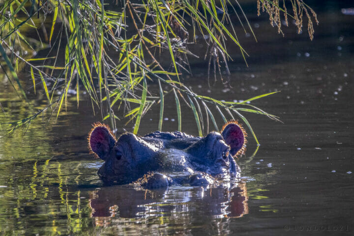 NS Hippo