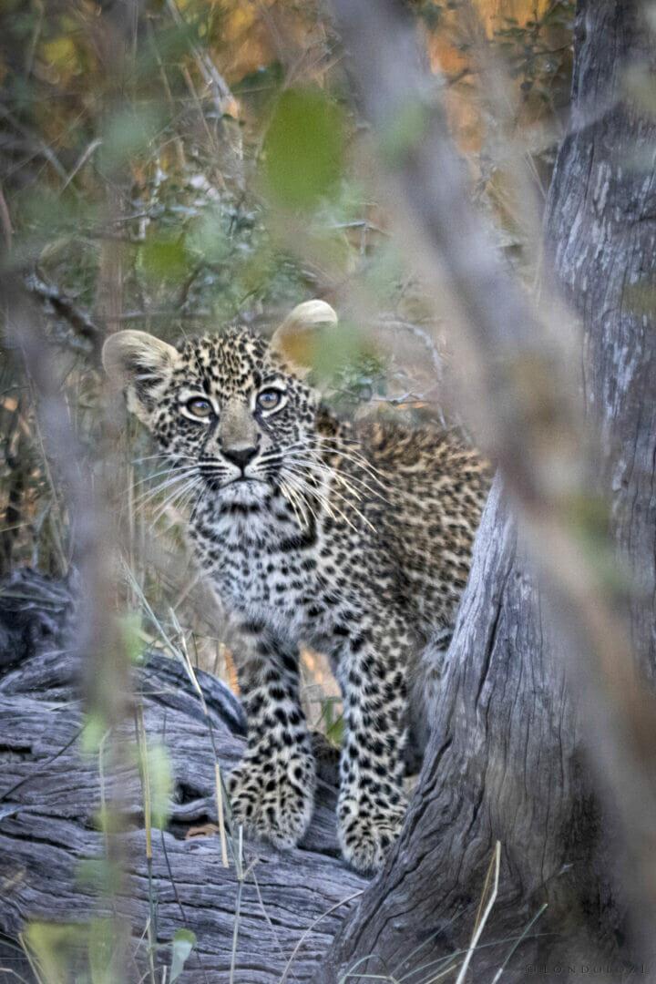 NS Ndzandzeni leopard cub May 2021