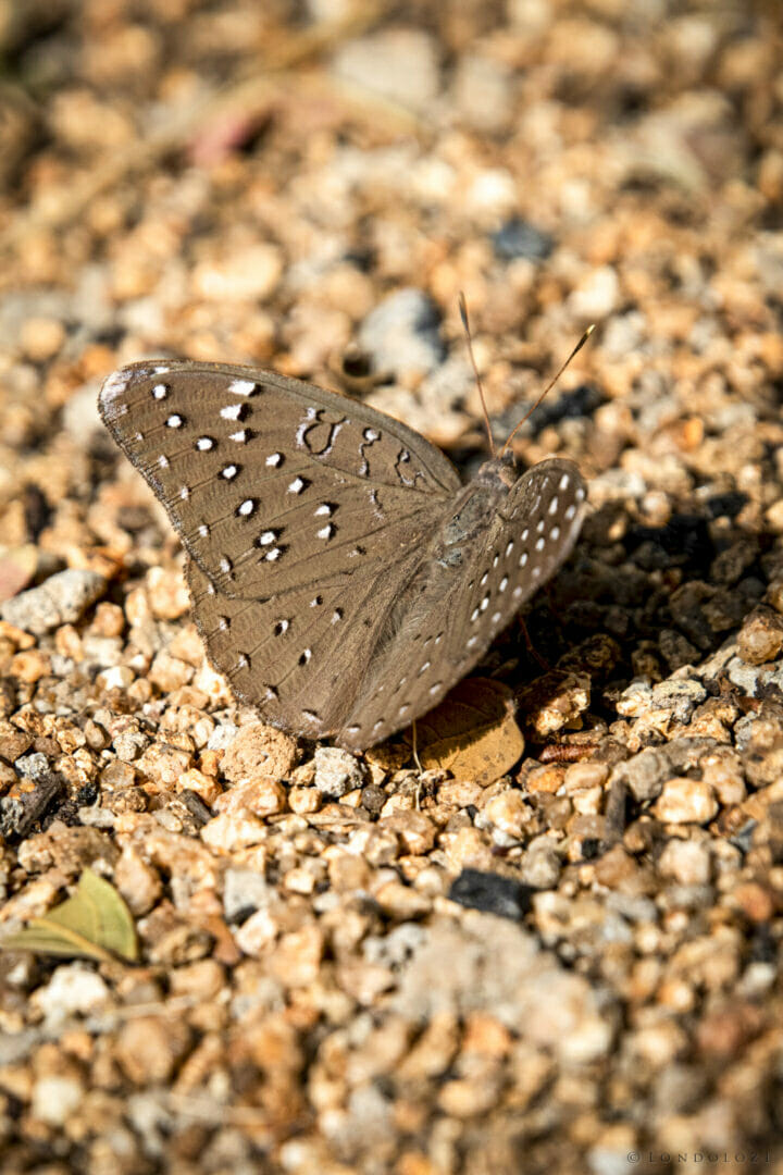 NS Guineafowl Butterfly