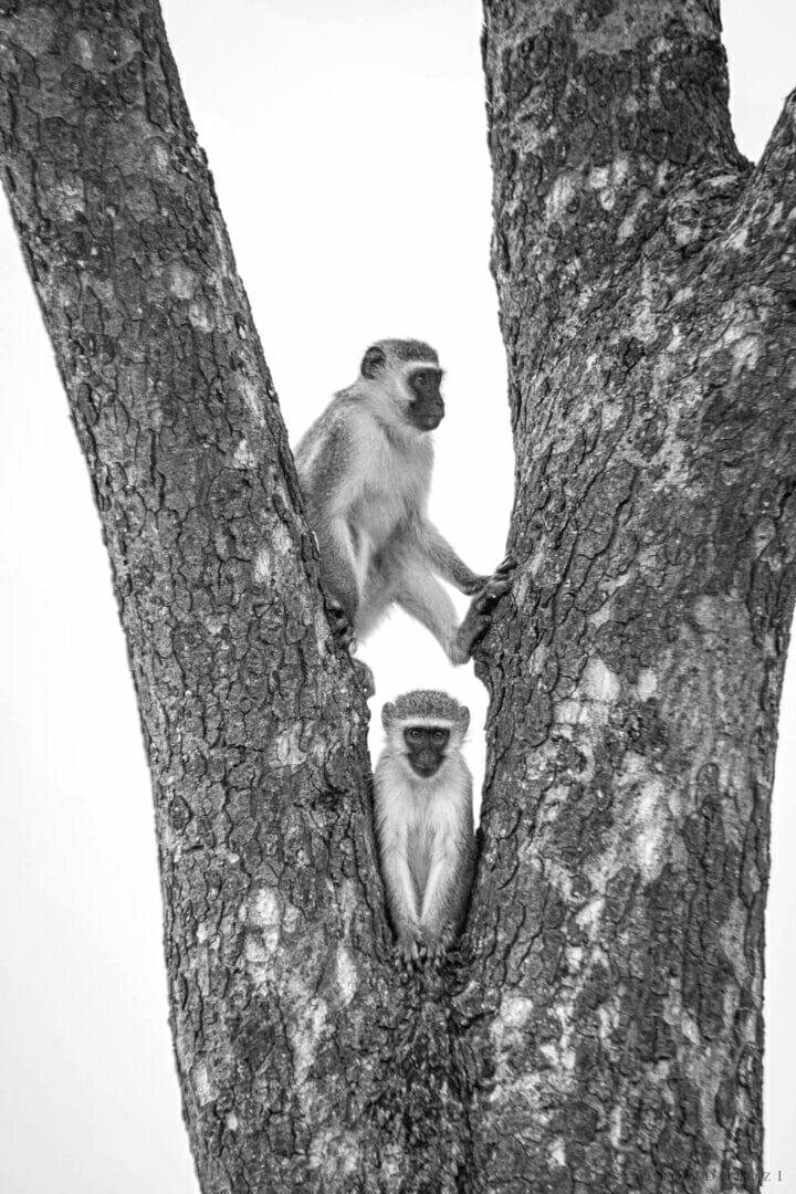 NS Vervet monkey in tree