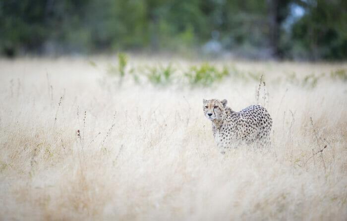 Cheetah soft grass SZ