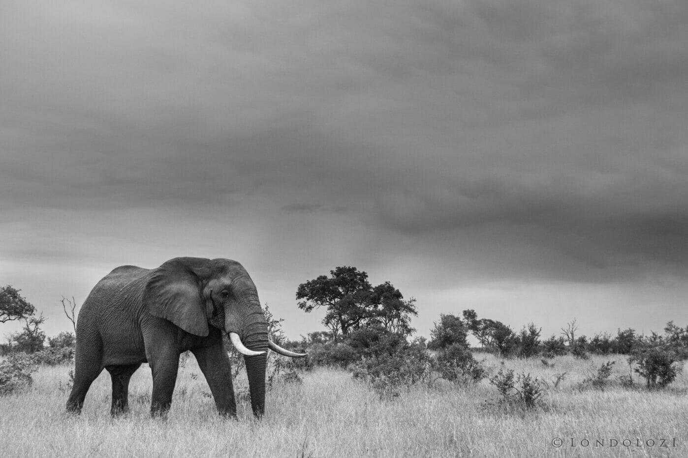 Cjt Elephant Walking Black And White
