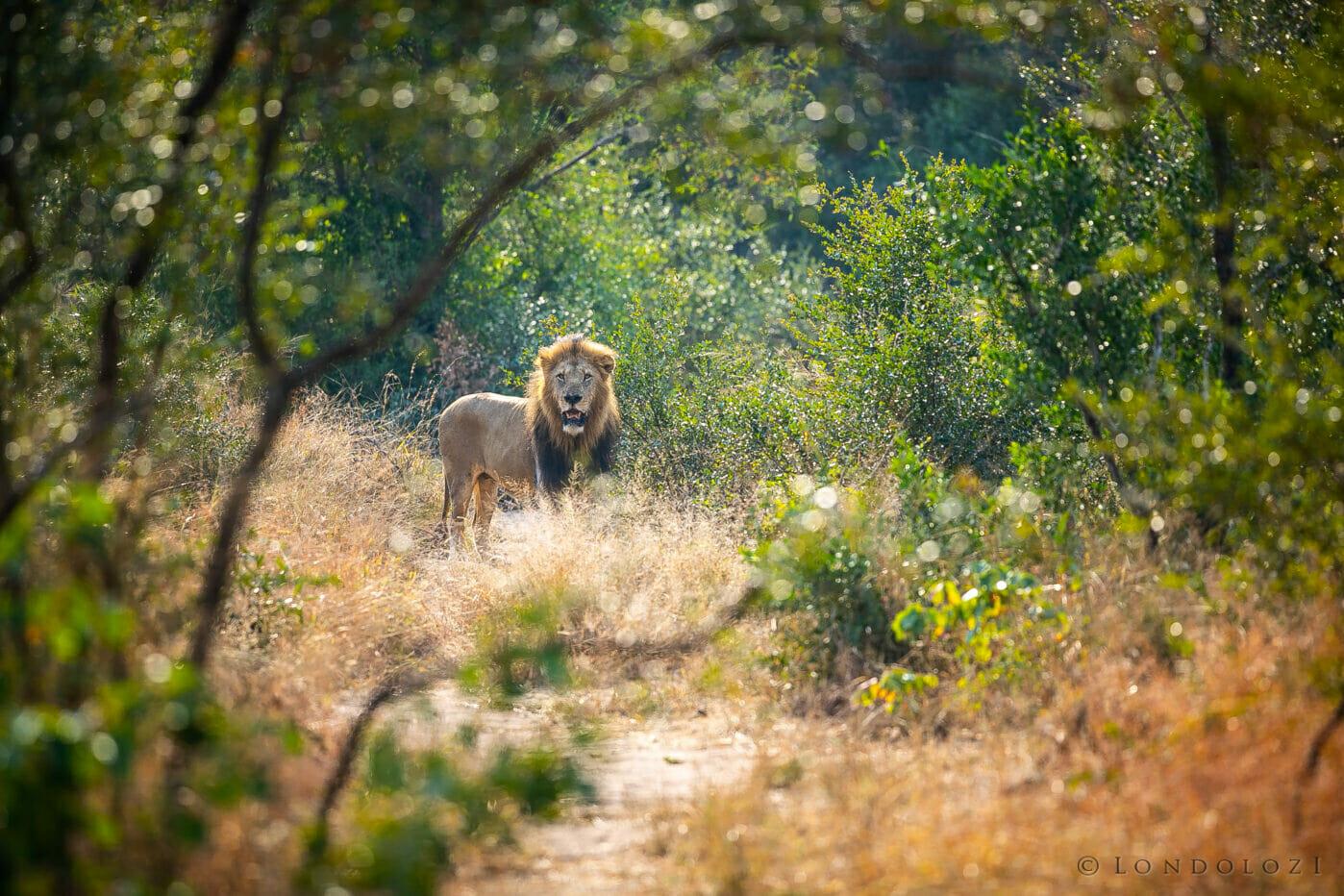 Birmingham Lion Bushes
