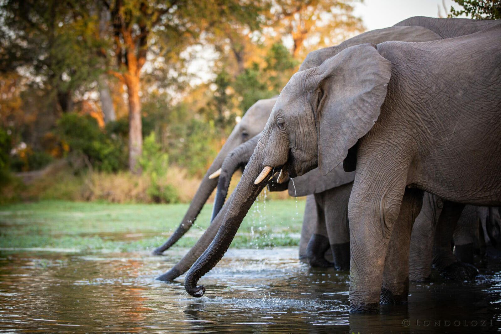 Elephants Drink