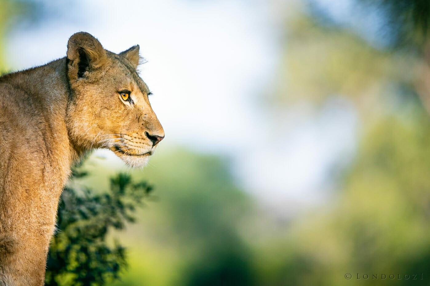 Ntsevu Lion 2
