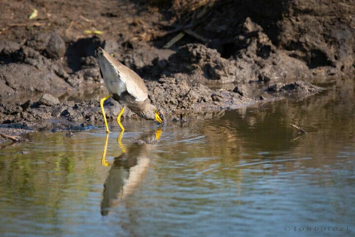 Wattled Lapwing Bird