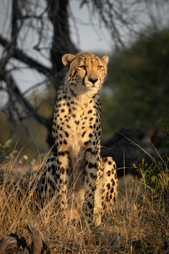 Cheetah Stare NS