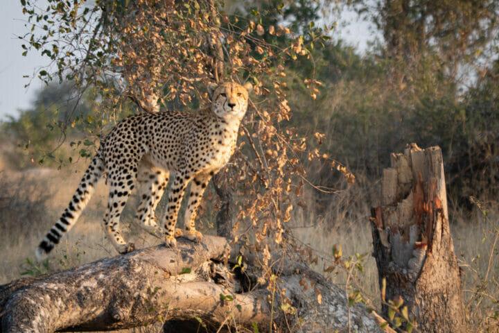 Cheetah Fallen Tree NS