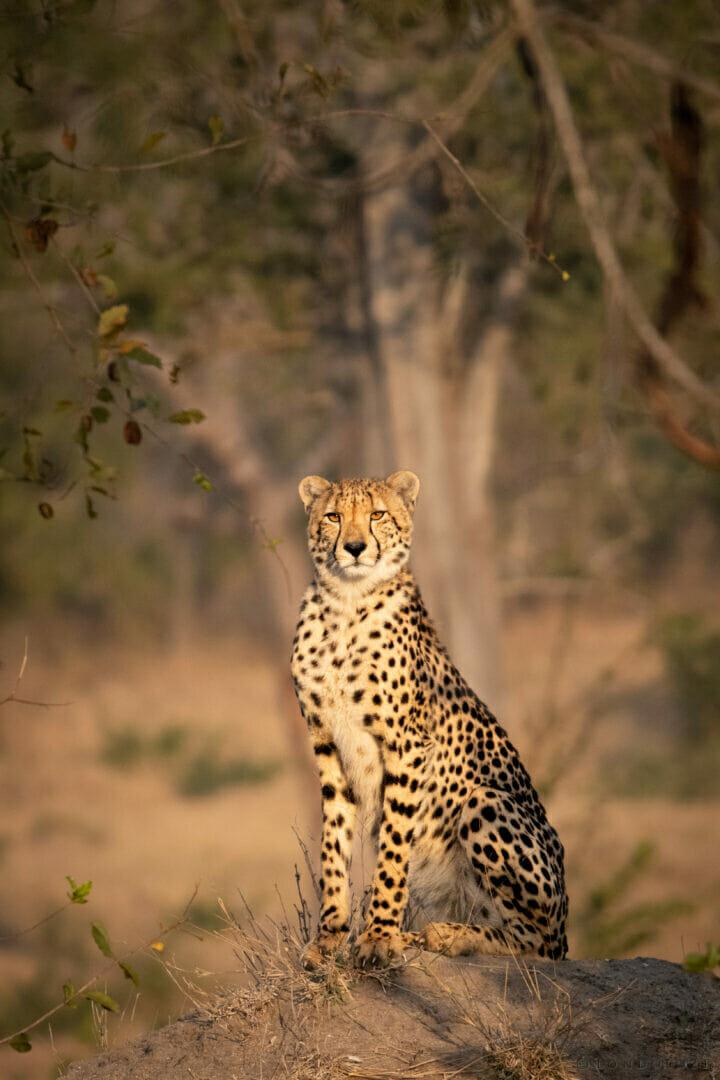 Cheetah on Mound NS