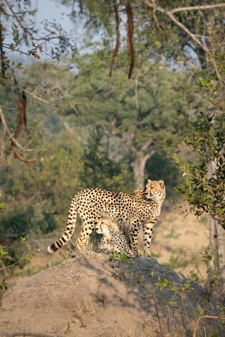Cheetah Mother And Cub Ns