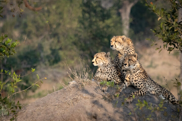 Cheetah Mother And Cubs Ns